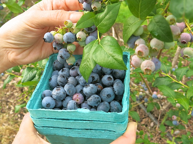 Seasonal Snippet:  All about Blueberries & How to Freeze 'em for Another Season