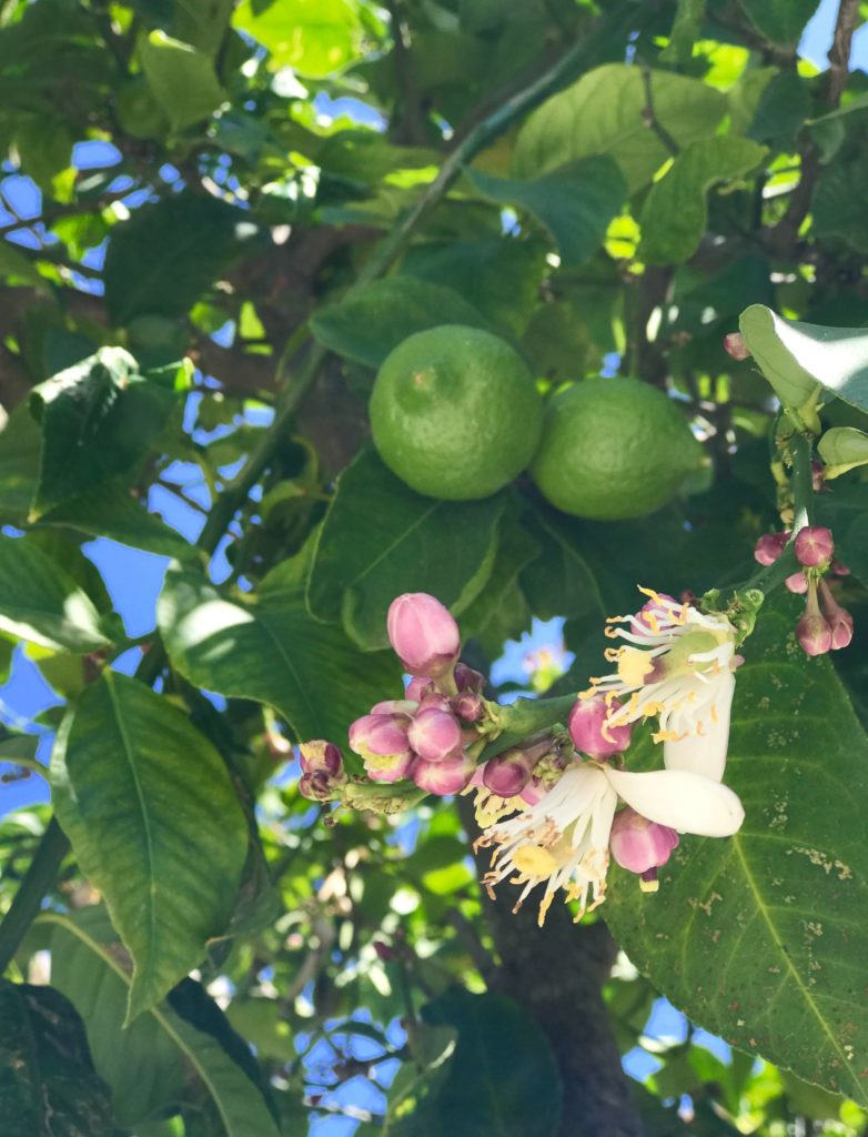 lime blossoms Kosher Like Me