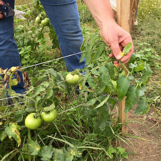 green tomatoes in October